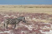 Zebra in the savannah — Stockfoto