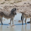 Постер, плакат: Zebras in the savannah