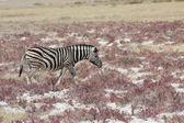 Zebra in the savannah — Stock Photo