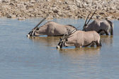 Oryx in waterhole — Stock Photo