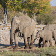 Stock Photo: Elephants in Etosha