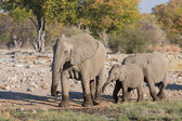 Elephants in Etosha — Stock Photo