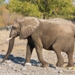 Walking elephant — Stock Photo #40347689