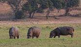Hippopotamus group — Stock Photo
