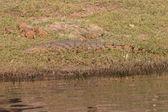 Cocodrilo de vida silvestre — Foto de Stock