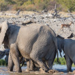 Stockfoto: Elephants in Etosha