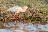 African Spoonbill — Stock Photo