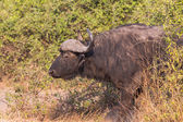 African buffalos side view — Stock Photo