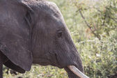 Closeup of elephant in alert — Stock Photo