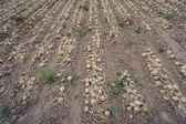 Cebolla madura en campo — Foto de Stock