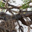Monitor Lizard camouflaged hidden over branch — Stock Photo