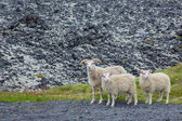 Three curious lambs looking at camera — Stock Photo
