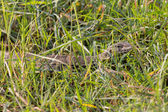 Monitor Lizard camouflaged over weed — Stock Photo