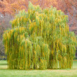 Salix babylonica tree on Autumn landscape — Stock Photo