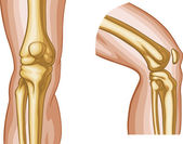 Human Knee Joint — Stock Vector