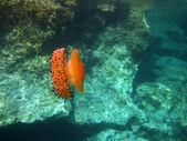Oranje jellyfish - onderwater — Stockfoto