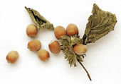 Hazel nuts — Stock Photo