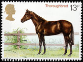 Thoroughbred — Stock Photo