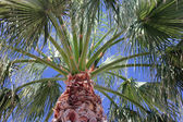 пальмовое дерево — Стоковое фото