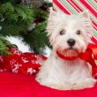 Westie under new year tree — Stock Photo