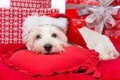 Westie in christmas hat — Stock Photo