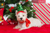 Westie with new year tree — Stock Photo