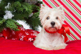 Westie under new year tree — Stock fotografie