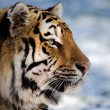 Siberitiger — Stock Photo #31968291