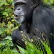 Chimpanzee — Stock Photo #31970649