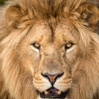 Male lions face — Stock Photo #31971707