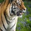Siberitiger — Stock Photo #31971713