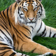 Tiger on grass — Stock Photo #31973905