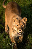 Lioness stalking through grass — Stock Photo