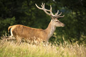 Running red deer — Stock Photo