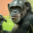 Chimpanzee chewing stalk of grass — Stock Photo #32027903