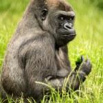 Gorilla eating — Stock Photo #32027965