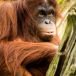 Female Orangutan — Stockfoto