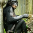 Bonobo Chimp — Stock Photo
