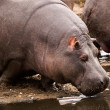 Hippo entering water — Stock Photo