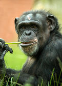 Chimpanzee chewing a stalk of grass — Stock Photo