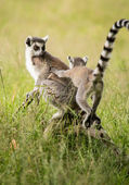 Baby lemur — Stock Photo