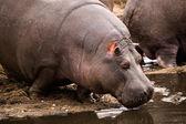 Hippo entering water — Stock Photo