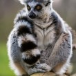 Ring Tailed Lemur — Stock Photo #32032621