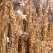 Stock Photo: Golden field of wheat