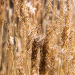 Golden field of wheat — Stock Photo