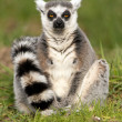 Ring Tailed Lemur — Stock Photo #32033157