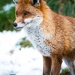 Fox in snow — Stock Photo #32033625