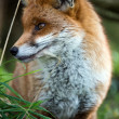 Fox in foliage — Stock Photo