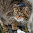 Schotse wildcat — Stockfoto