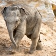 Stock Photo: Baby elephant